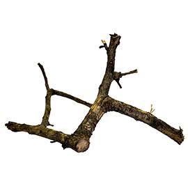 Black Acacia Branch