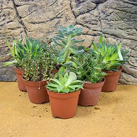 Arid Environment Live Plants