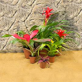 Bromeliad Live Plants