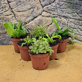 Carniverous Live Plants